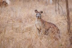 Kangaroo in natural habitat Australia royalty free stock images
