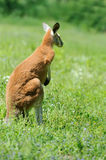 Kangaroo in a natural habitat in grass Royalty Free Stock Images
