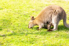 Kangaroo with newborn in pouch on grass eating stock images