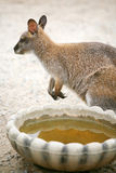 Kangaroo next to bowl of water Royalty Free Stock Photo