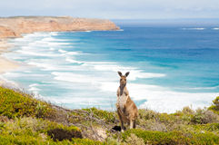 Kangaroo and ocean royalty free stock photos