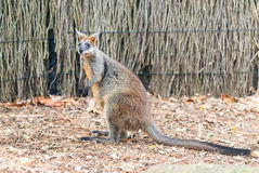 Kangaroo on a park, Australia Royalty Free Stock Photography