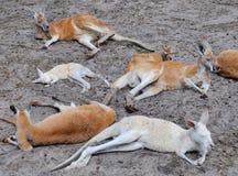 Kangaroo Party: Western Australia Stock Photography