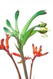 Kangaroo Paw Stock Photography