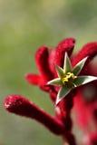 Kangaroo Paw Stock Image