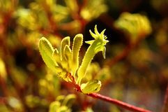 Kangaroo Paw Stock Photos
