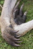 Kangaroo Paw. Close up of the paws or claws of a real Kangaroo Stock Photography