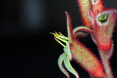 Kangaroo Paw Royalty Free Stock Photos