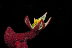 Kangaroo Paw Floral. Australian Native plant the Kangaroo paw Royalty Free Stock Image