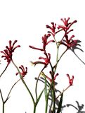 Kangaroo Paws Stock Photography