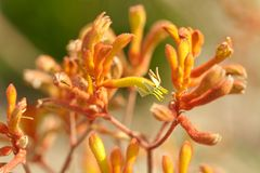 Kangaroo Paws 2 royalty free stock image