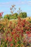 Kangaroo Paws Western Australia Stock Image