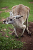 Kangaroo peers Stock Image