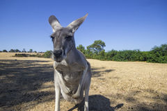 Kangaroo in Phillip island wildlife park. Australia Stock Photography