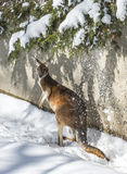 Kangaroo playing in the snow Royalty Free Stock Photography