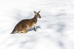 Kangaroo playing in the snow Royalty Free Stock Photos