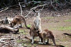 Kangaroo pleasure - Tasmania Royalty Free Stock Image