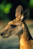 Kangaroo Portrait Royalty Free Stock Photos