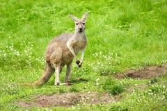 Kangaroo portrait Royalty Free Stock Images