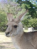 Kangaroo portrait. Kangaroo in the park portrait Royalty Free Stock Image