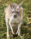 Kangaroo portrait Stock Photos