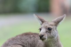 Kangaroo portrait. Close-up of a Kangaroo in a meadow royalty free stock images
