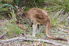 Kangaroo portrait close up portrait look at you Stock Photos