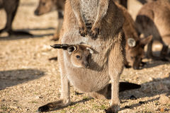 Kangaroo portrait close up portrait look at you Stock Images