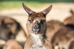 Kangaroo portrait close up portrait look at you Royalty Free Stock Photo