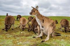 Kangaroo portrait close up portrait look at you Stock Photography