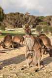 Kangaroo portrait close up portrait look at you Royalty Free Stock Images