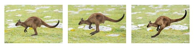 Kangaroo portrait while jumping on grass Stock Photos