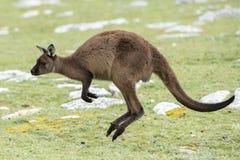 Kangaroo portrait while jumping on grass Royalty Free Stock Image