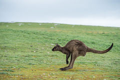 Kangaroo portrait while jumping Stock Photography