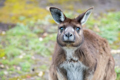 Kangaroo portrait while looking at you Royalty Free Stock Images