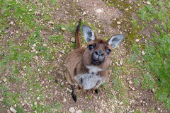 Kangaroo portrait while looking at you Stock Images