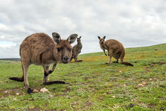 Kangaroo portrait while looking at you Royalty Free Stock Photo