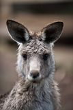 Kangaroo Portrait. Wild marsupial juvenile furry Australia Royalty Free Stock Photo