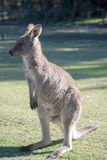 Kangaroo Stock Photos