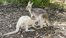 Kangaroo puppy drinks milk with its snout stuck in its mother`s pouch, Western Australia royalty free stock photo