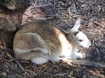 Kangaroo in Queensland, Australia. Stock Image
