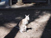 Kangaroo in Queensland, Australia. Royalty Free Stock Photography