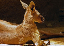 Kangaroo. Red Kangaroo Laying On Her Side Stock Image