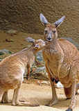 Kangaroo. Red Kangaroo Mother And Baby Interacting Stock Image
