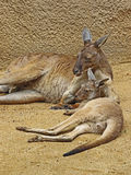 Kangaroo. Red Kangaroo Mother And Baby Laying Together Stock Images