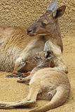 Kangaroo. Red Kangaroo Mother And Baby Laying Together Stock Photos