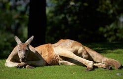 Kangaroo. Red kangaroo. Sort : Macropus rufus Royalty Free Stock Photos