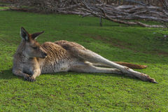 Kangaroo relaxing. In the Australian outback Royalty Free Stock Photo