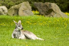 Kangaroo Relaxing on Grass stock photos