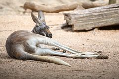 Kangaroo relaxing on ground in the sun Royalty Free Stock Images
